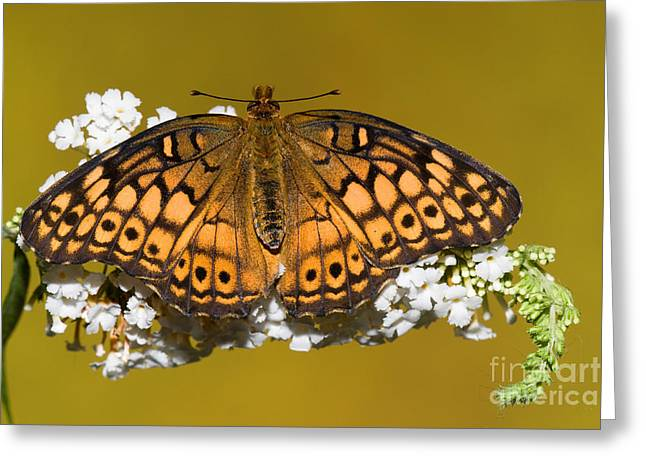 Duval County Greeting Cards - Variegated Fritillary Butterfly Greeting Card by Millard H. Sharp