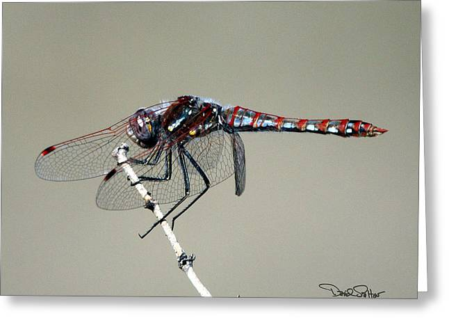 Meadowhawk Greeting Cards - Variegated Meadowhawk Greeting Card by David Salter