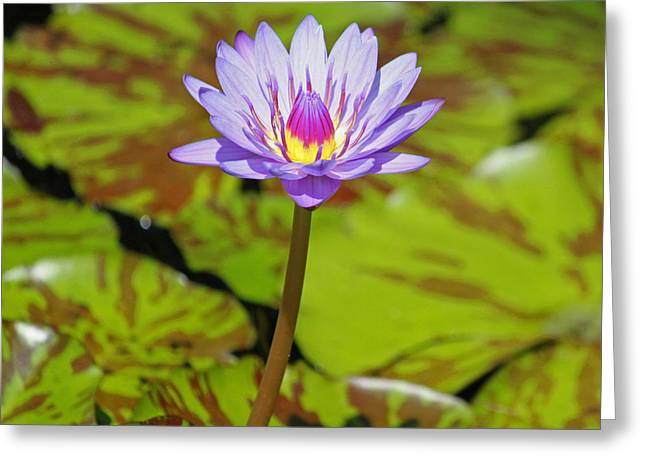 Water Garden Greeting Cards - Variegated Purple Lily Greeting Card by Suzanne Gaff