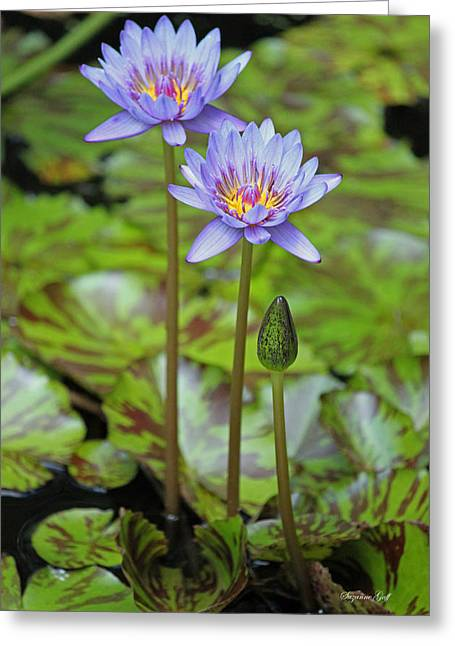 Lily Pad Greeting Cards Greeting Cards - Variegated Purple Water Lilies Greeting Card by Suzanne Gaff