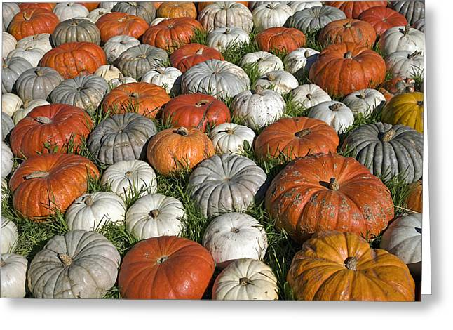 Variety Of Pumpkins, Near Half Moon Bay Greeting Card by Ken Ross