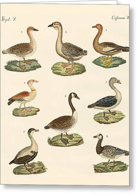 Wild Goose Greeting Cards - Various kinds of geese Greeting Card by Splendid Art Prints