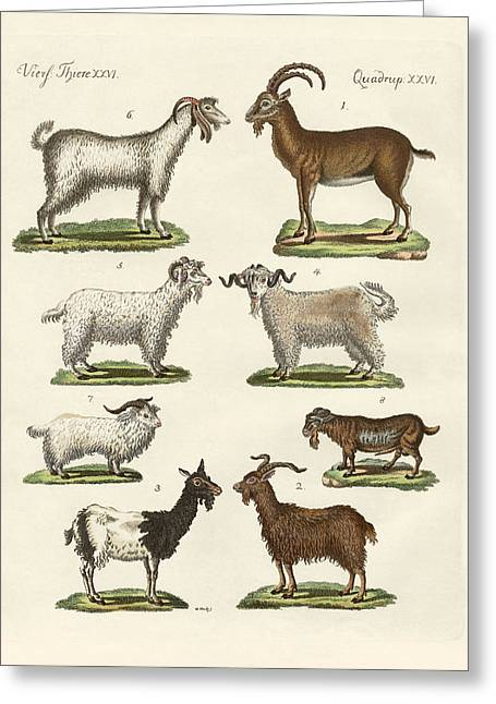 Goat Drawings Greeting Cards - Various kinds of goats and bucks Greeting Card by Splendid Art Prints