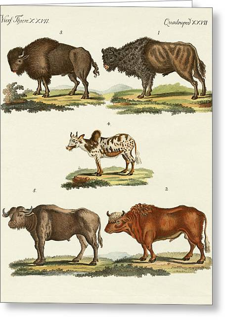 Bison Drawings Greeting Cards - Various kinds of oxen Greeting Card by Splendid Art Prints