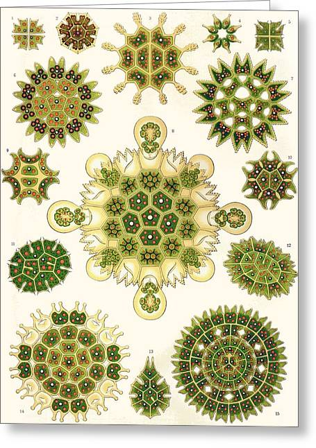Vertical Drawings Greeting Cards - Varities of Pediastrum from Kunstformen der Natur Greeting Card by Ernst Haeckel
