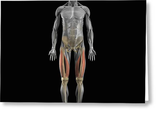 Skeletal Muscle Greeting Cards - Vastus Medialis And Lateralis Muscles Greeting Card by Science Picture Co