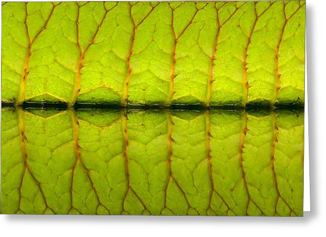 Lilly Pads Greeting Cards - Veins Greeting Card by Sean Allen