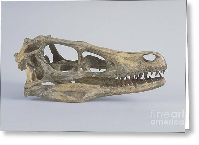 Velociraptor Greeting Cards - Velociraptor Skull Greeting Card by Barbara Strnadova