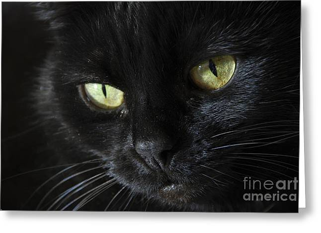 Moggy Greeting Cards - Velvet Greeting Card by Anne Gilbert