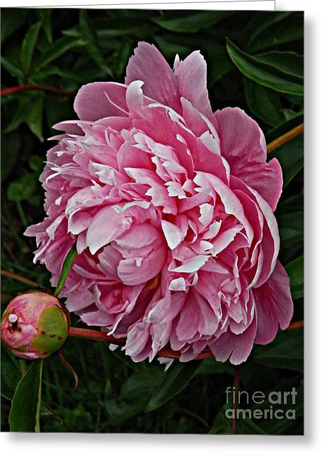 Indiana Flowers Greeting Cards - Velvet Petals Greeting Card by Marcia Lee Jones
