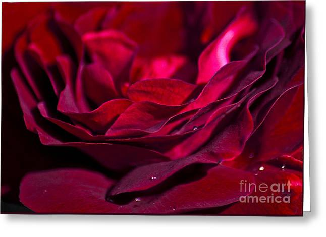 Drop Greeting Cards - Velvet Red Rose Greeting Card by Jan Bickerton