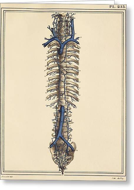 Inferior Vena Cava Greeting Cards - Vena cavae veins, 1825 artwork Greeting Card by Science Photo Library