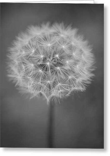 Achene Greeting Cards - Vermont-dandelion-puffball-Taraxacum officinale-black and white Greeting Card by Andy Gimino