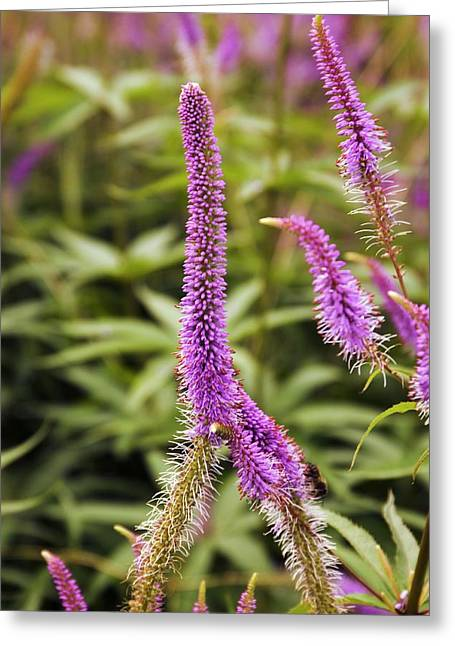 Veronicastrum Virginicum 'fascination' Greeting Card by Adrian Thomas