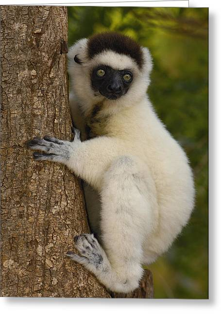 Berenty Private Reserve Greeting Cards - Verreauxs Sifaka Portrait Berenty Greeting Card by Pete Oxford