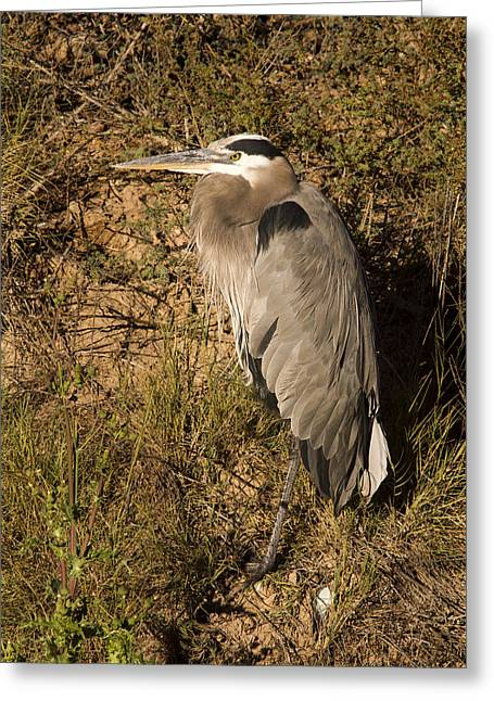 Hunting Bird Greeting Cards - Vertical Heron Basking in the Morning Sun Greeting Card by Jean Noren