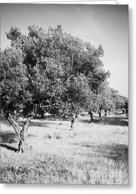 Olive Oil Greeting Cards - Vertical Row Line Of Olive Trees On Farmland In Hammamet Tunisia Greeting Card by Joe Fox
