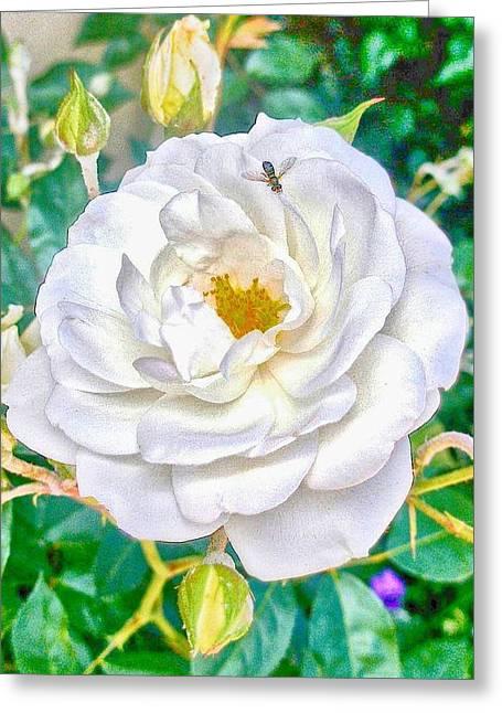 Hallmark Greeting Cards - HDR Vertical Bernardus Rose Bush Greeting Card by Kristina Deane