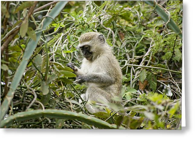 Close Focus Nature Scene Greeting Cards - Vervet Monkey Greeting Card by Brian Kamprath