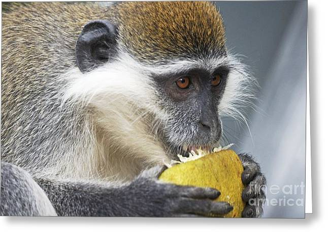 Scavenge Greeting Cards - Vervet Monkey Eating An Orange Greeting Card by Brian Gadsby