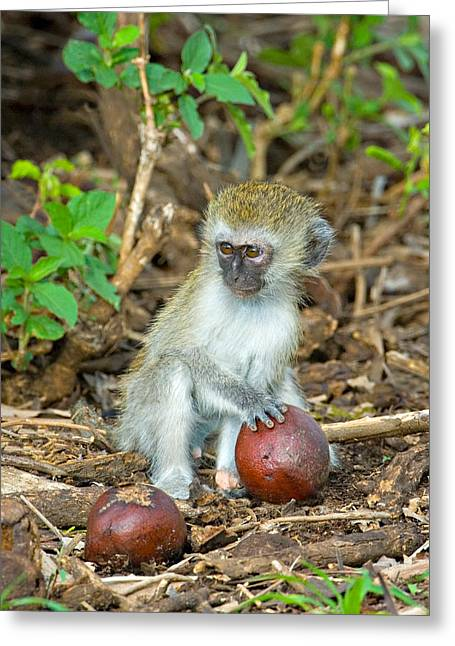 Plant The Seed Greeting Cards - Vervet Monkey Holding A Seed Pod Greeting Card by Panoramic Images
