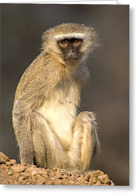 Zimbabwe Greeting Cards - Vervet monkey Greeting Card by Science Photo Library
