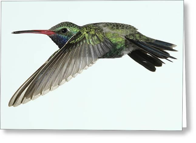 Hovering Greeting Cards - Very Horizontal Broadbill Hummingbird Greeting Card by Gregory Scott