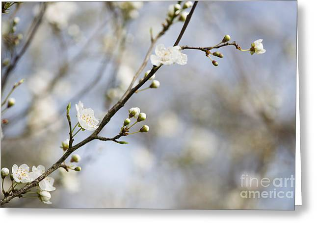 Close Focus Floral Greeting Cards - Very Nearly Spring Greeting Card by Anne Gilbert