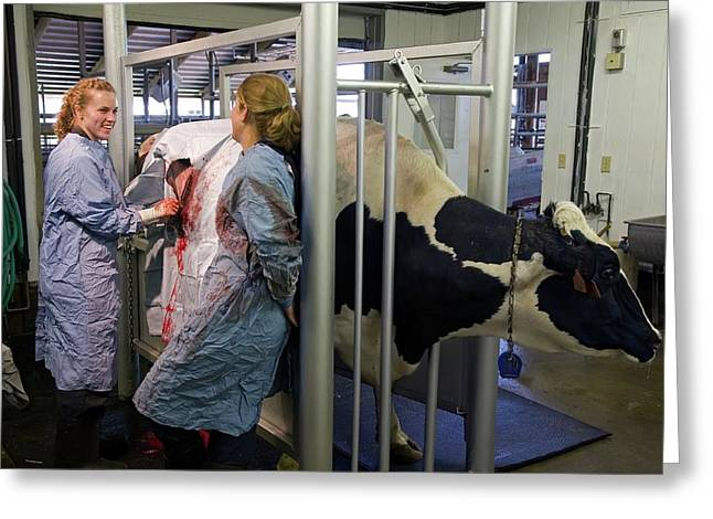 Veterinarians Operating On A Cow Greeting Card by Jim West