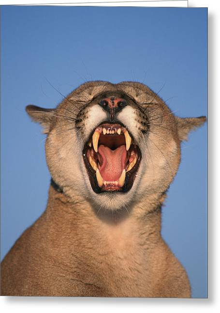 Growling Photographs Greeting Cards - V.hurst Tk21663d, Mountain Lion Growling Greeting Card by Victoria Hurst