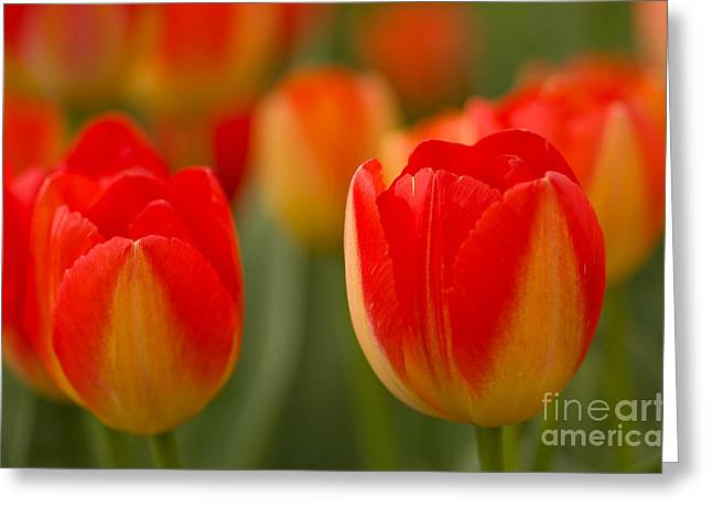 Northwest Garden Show Greeting Cards - Vibrant Beauties  Greeting Card by Nick  Boren