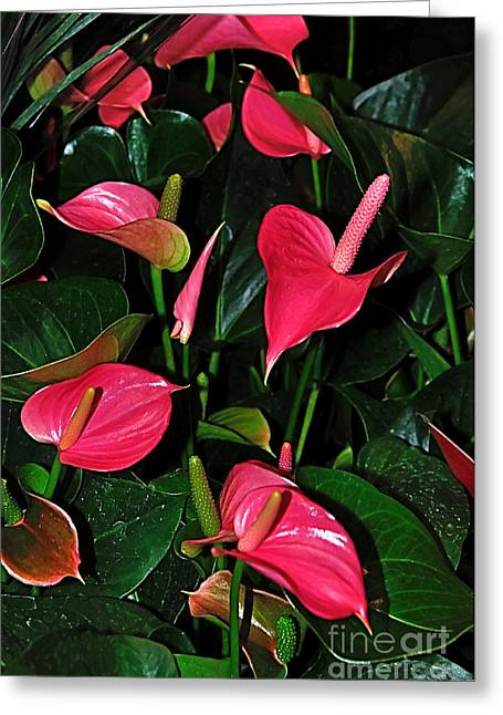 Crimson Lilies Greeting Cards - Vibrant Flamingo Lilies - Anthurium Greeting Card by Kaye Menner