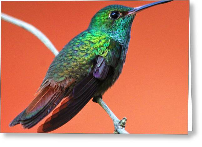 Nathan Miller Greeting Cards - Vibrant Hummingbird Greeting Card by Nathan Miller