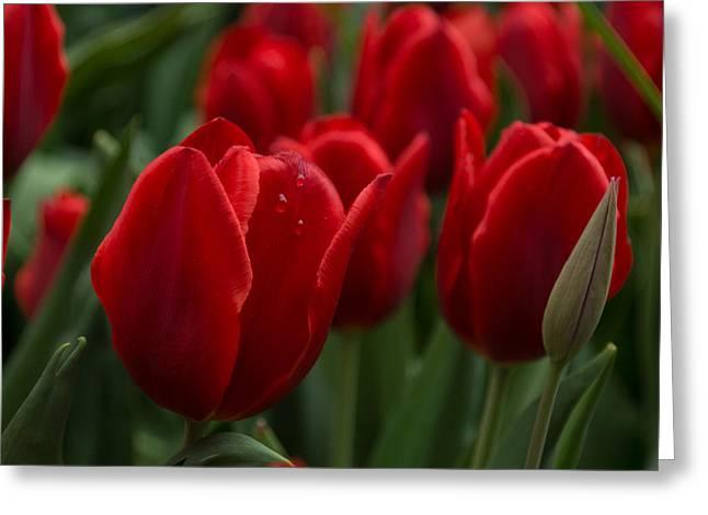 Vibrant Red Spring Tulips Greeting Card by Georgia Mizuleva