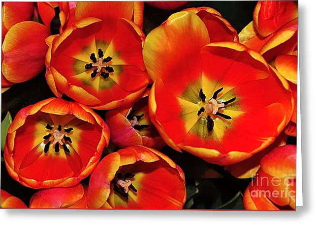 Vibrant Red Tulips From Above Greeting Card by Kaye Menner