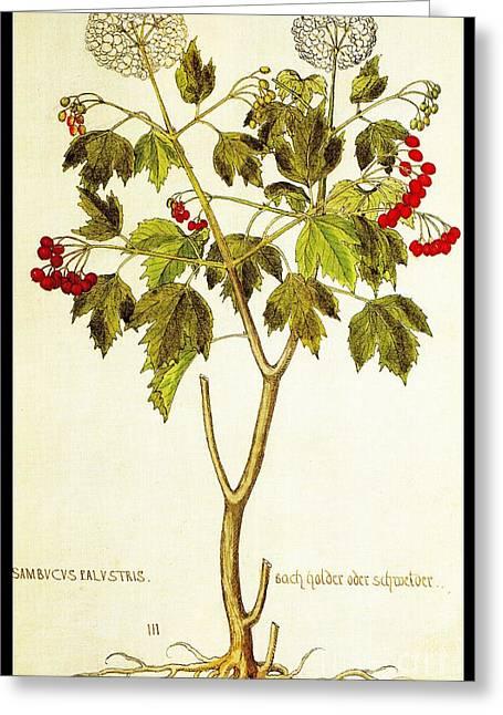 Naturalistic Drawings Greeting Cards - Viburnum Opulus Greeting Card by Rose Santuci-Sofranko
