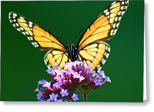 Extinction Of Species Greeting Cards - Viceroy Butterfly Square Greeting Card by Karen Adams