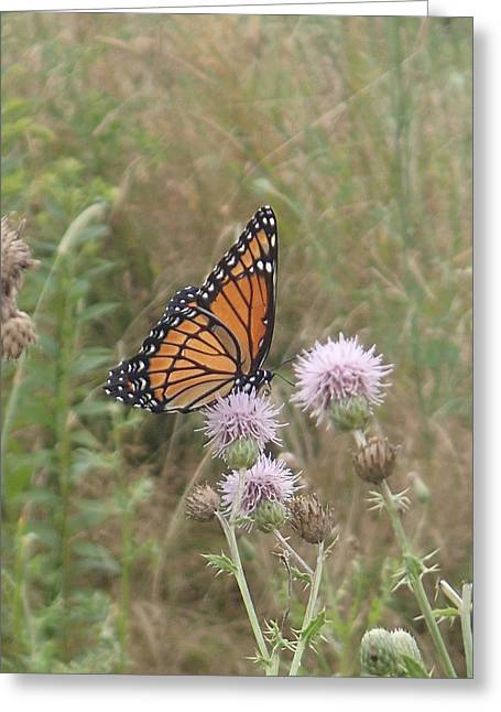Robert Nickologianis Greeting Cards - Viceroy on Thistle Greeting Card by Robert Nickologianis