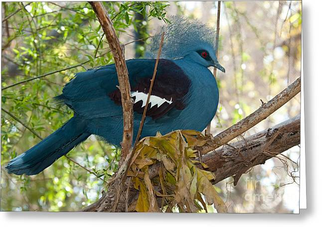 Victoria Crowned Pigeon Greeting Card by Mark Newman