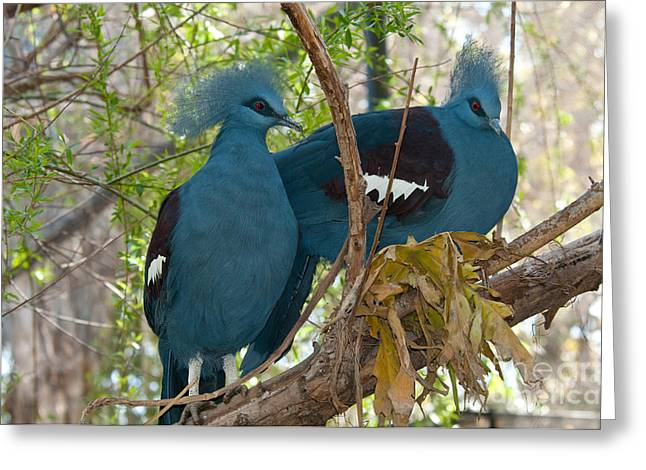 Victoria Crowned Pigeons Greeting Card by Mark Newman