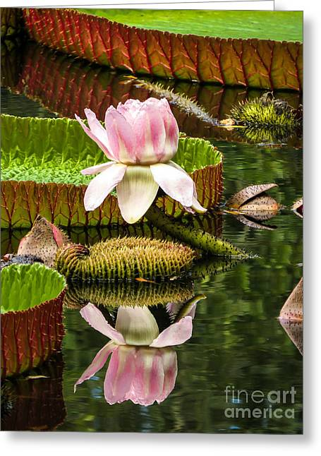 Victoria Cruziana Greeting Cards - Victoria cruziana waterlily		 Greeting Card by Zina Stromberg