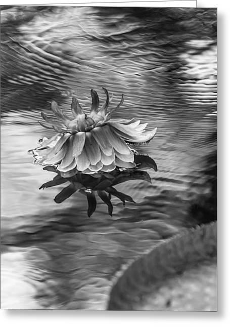 Victoria Regia Blossom. Royal Botanical Garden In Mauritius. Black And White Greeting Card by Jenny Rainbow