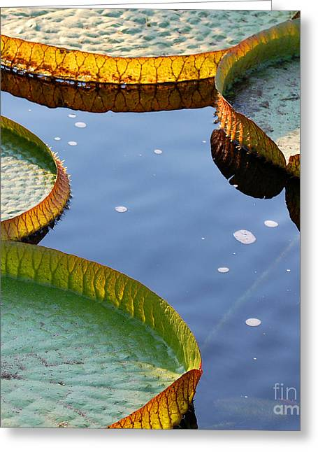 Victoria Waterlilies Greeting Card by Nancy Mueller