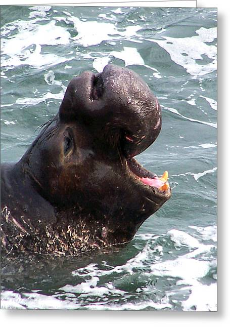 Elephant Seals Greeting Cards - Victory Scream Greeting Card by Jennifer  Robin