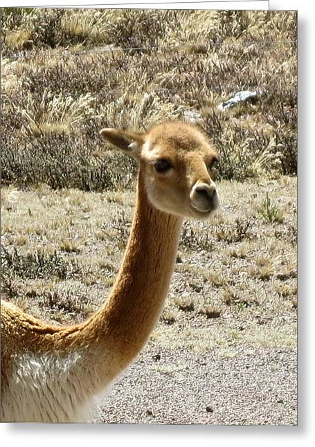 Transportation Glass Greeting Cards - Vicuna portrait Greeting Card by Darlene Grubbs