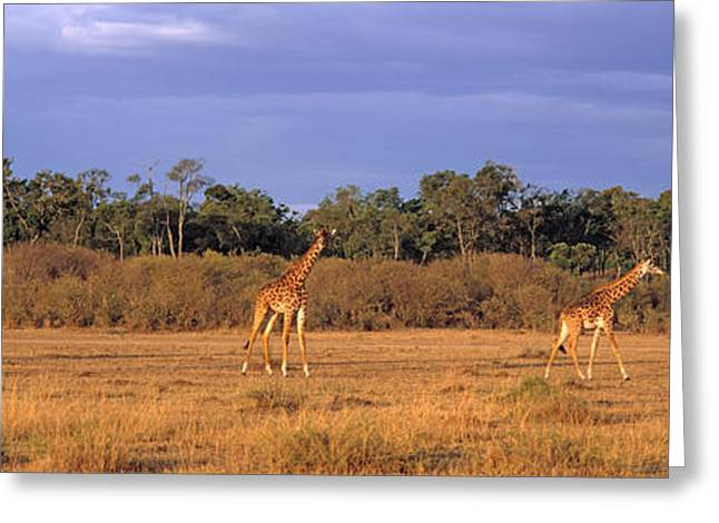 National Reserve Greeting Cards - View Of A Group Of Giraffes In The Greeting Card by Panoramic Images