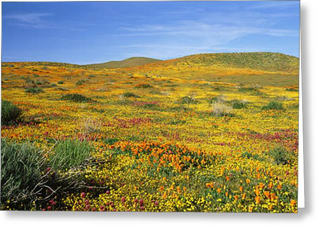 View Of Blossoms In A Poppy Reserve Greeting Card by Panoramic Images