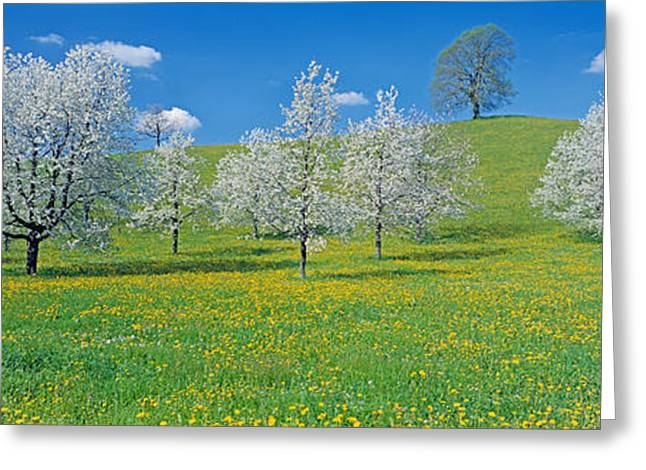 Zug Greeting Cards - View Of Blossoms On Cherry Trees, Zug Greeting Card by Panoramic Images