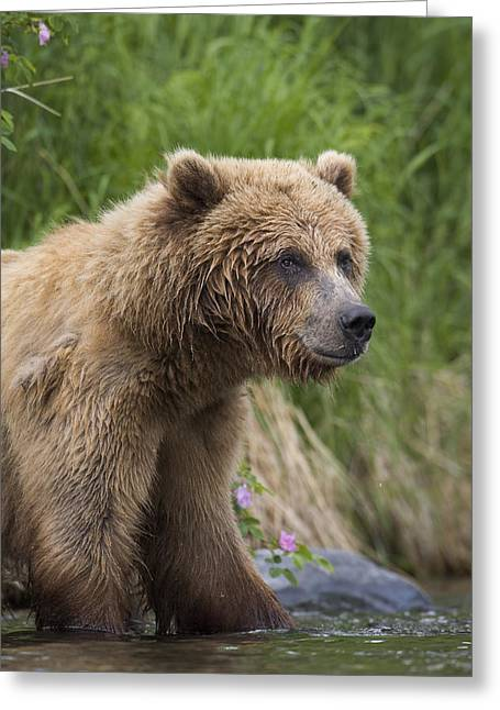 Russian Born Greeting Cards - View Of Brown Bear Standing Near The Greeting Card by Milo Burcham