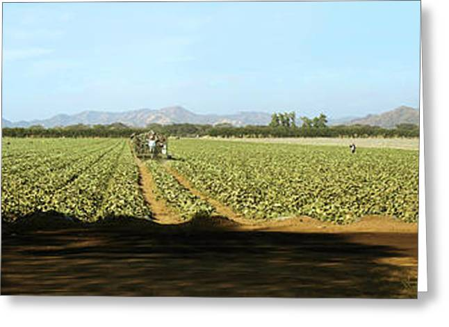 View Of Cantaloup Field, Costa Rica Greeting Card by Panoramic Images